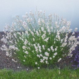 Lavandula X intermedia 'Edelweis' - Lanvande blanche