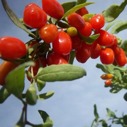 Lycium barbarum 'XXL' - Goji à gros fruits