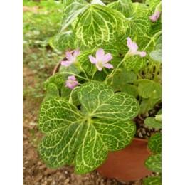 Oxalis corymbosa 'Aureoreticulata' - Trèfle ornemental
