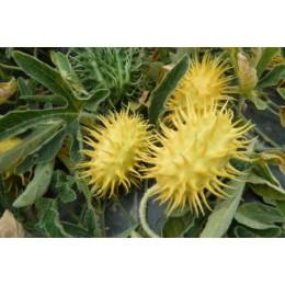 Cucumis rigidus (Graines / seeds)