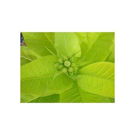 Nicotiana tabacum 'Aureum' - Tabac doré (graines / seeds)