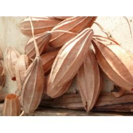 Luffa acutangula 'Wild form' - Courge éponge (graines / seeds)