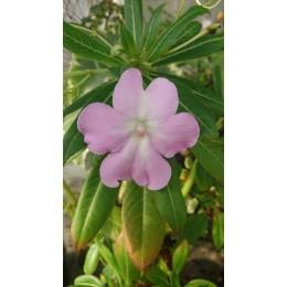 Impatiens tuberosa - Impatiens tubéreuse (plant)