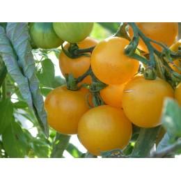 Tomate 'Summer Sun' F1 - Tomate cerise jaune sucrée