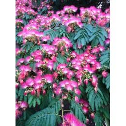 Albizia julibrissin - Arbre de soie ou Acacia de Constantinople (Graines / Seeds)