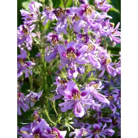 Schizanthus grahamii - Orchidée du pauvre (graines / seeds)