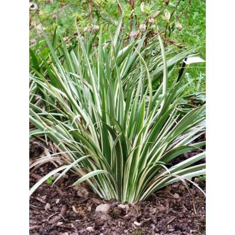 Iris foetidissima 'Variegata' - Iris fétide panaché