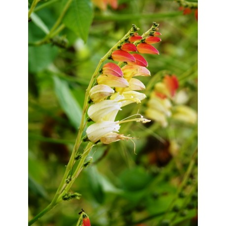 Ipomoea lindheimeri - ipomée (Graines / seeds)