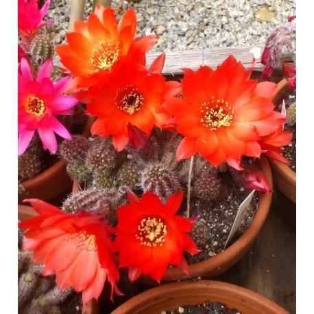 "Chamaecereus sylvestrii - Cactus ""cornichon"""