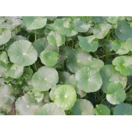 Hydrocotyle verticillata - Hydrocotyle