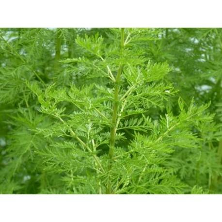 Artemisia annua - Armoise annuelle (plant)