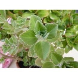 Plectranthus neochilus - Plante à odeur de cannabis