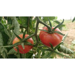 Tomate ancienne  'Pink Hathaway' (Graines / seeds)