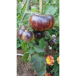 Tomate 'Alice Dream' - Solanum lycopersicum  (Graines / seeds)
