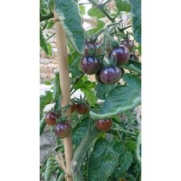 Tomate 'Blue Cream Berry' - Solanum lycopersicum  (Graines / seeds)