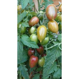 Tomate 'Candy Sweet Icicle' - Solanum lycopersicum  (Graines / seeds)