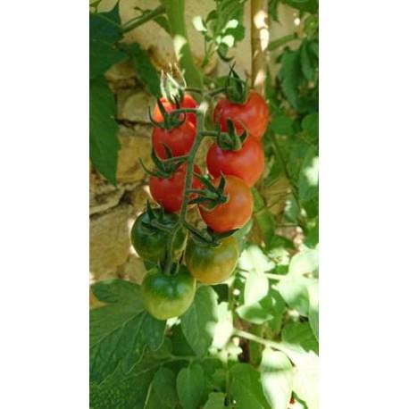 Tomate 'Chadwick Cherry or Camp Joy'' - Solanum lycopersicum  (Graines / seeds)
