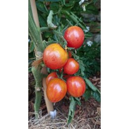 Tomate 'Pink Bumble Bee' - Solanum lycopersicum  (Graines / seeds)