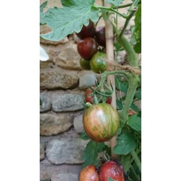 Tomate 'Pink vernissage' - Solanum lycopersicum  (Graines / seeds)