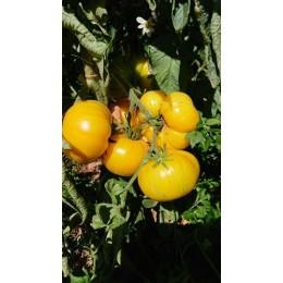 Tomate 'Pork chop' - Solanum lycopersicum  (Graines / seeds)