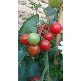 Tomate 'Principe Borghese da Appendere' - Solanum lycopersicum  (Graines / seeds)