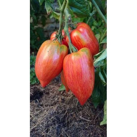 Tomate 'Striped Roman' - Solanum lycopersicum  (Graines / seeds)