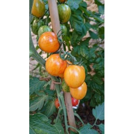 Tomate 'Sunrise Bumblebee' - Solanum lycopersicum  (Graines / seeds)