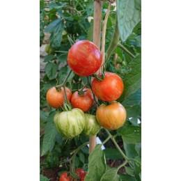 Tomate 'Turkish Striped monastery' - Solanum lycopersicum  (Graines / seeds)